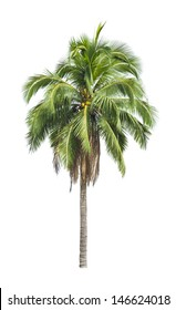 Single coconut tree on white isolated background it sweet fruit for drink for design or decorate interior, exterior, garden, 3D or other your content.