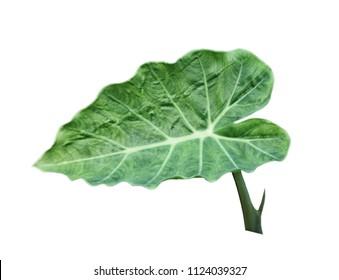 Single colocasia gigantea leaf isolated on white background