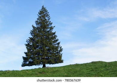 single conifer with the grass, sky and clouds