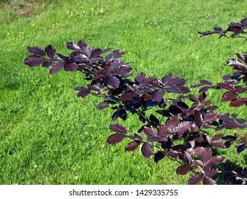 Single copper beech tree fagus sylvatica purpurea branch with dark purple leaves in sunny summer day close up