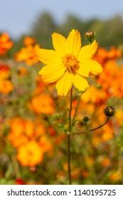 Single Coreopsis grandiflora flower in the garden
