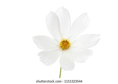 Single Cosmos bipinnatus flower isolated on white background