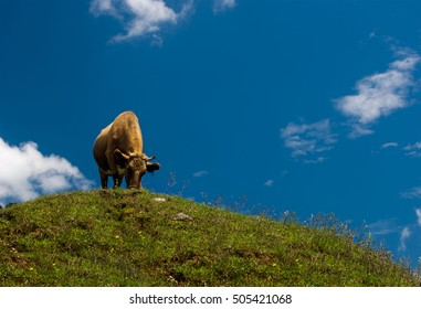 Single cow on a green field and blue sky.