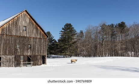 A single cow in a snowy pasture next to an old wooden, New England barn.