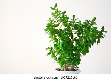 Single crassula plant. Money plants with juicy leaves. Home potted plants.