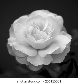 Single cream rose on dark background. Natural beauty of the neat flower in the black and white square image.