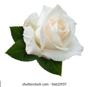 """A single creamy white hybrid tea rose, variety """"Pascali"""", sprinkled with dewdrops and nestling on a spray of rose leaves. Isolated on white with clipping path."""