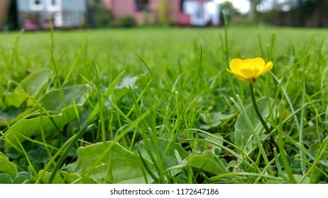 Single Creeping Buttercup on the grass