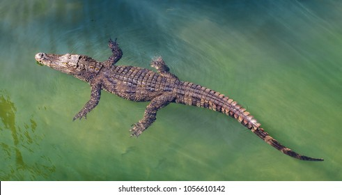 Single crocodile floating in water