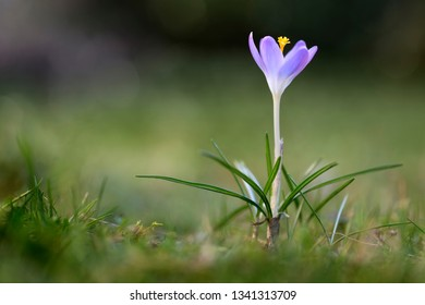 Single Crocus tommasinianus flower in a lawn, closeup
