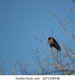 A single crow sitting in the treetop in spring with the blue sky behind