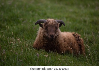Single curly brown sheep laying in the green grass on the hills and cliffs of the Nordic Faroe Islands