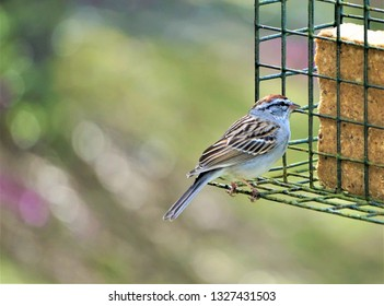 A single cute Chipping sparrow (Spizella passerine) perching on the green suet feeder enjoy eating food and watching on the blurry garden background, Spring in GA USA.