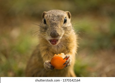 Single and cute ground squirrel eating a slice of carrot. Very funny, clever and fast animals. Living in a small ground holes.