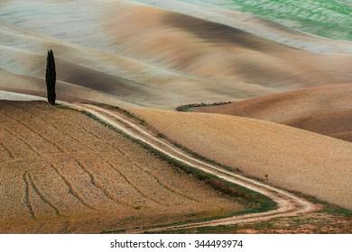 single cypress tree in the fields in Italy