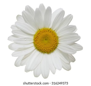 Single daisy flower head isolated on white background