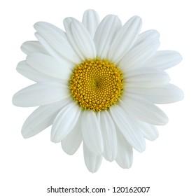 Single daisy flower isolated on white background