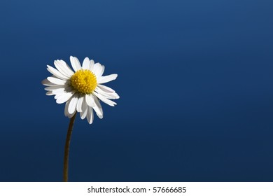 Single daisy in front of a dark blue water background