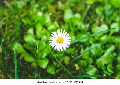 Single daisy on a green meadow