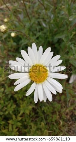 Single daisy one petal missing stock photo edit now 659861110 single daisy with one petal missing mightylinksfo