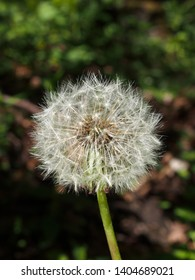 a single dandelion clock with fluffy white seeds against a dark blurred nature sunlit background