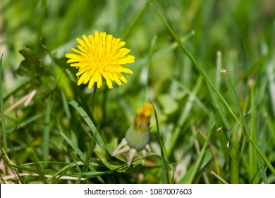 Single Dandelion close-up in grass.  Delicate seeds.