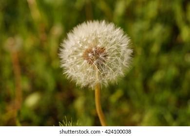 Single Dandelion Flower