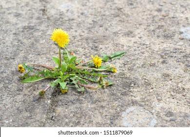 single dandelion flower breaks its way through the concrete, copy space, selected focus