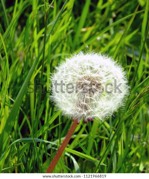 a single dandelion seed ball in close up against green spring grass