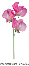 A single dark pink sweet pea flower, Lathyrus Odoratus, with three florets, isolated on a white background.