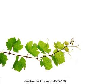 Single decorative branch of fresh grapevine on white background