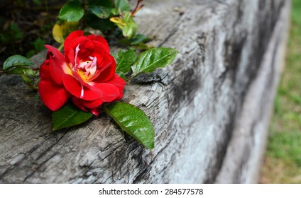 Single deep red rose bloom against a weathered wooden railway sleeper