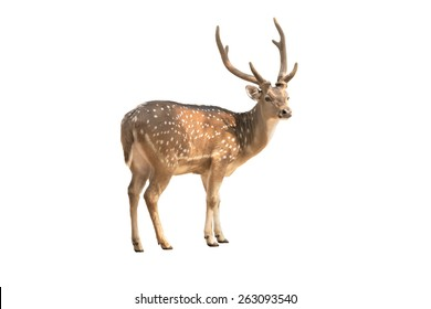 Single deer isolated on white background