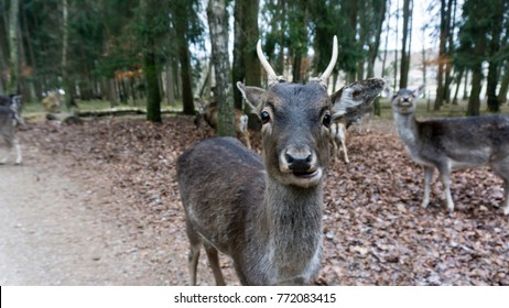 Single deer looking in camera and chewing close up with horde in the back