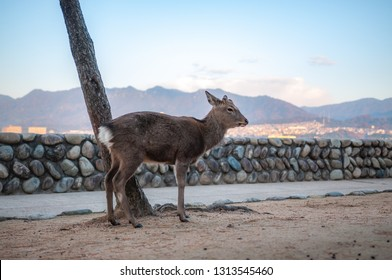 A single deer seen at Hiroshima Prefecture's famous Miyajima Island in Japan where wild deers are considered as sacred by the locals and are free to roam.