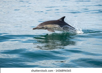 Single Dolphin jumping out of glassy water with reflection