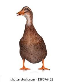 Single domestic duck