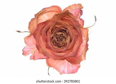 Single dry rose isolated on white background