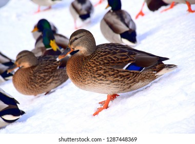 A single duck or drake sliding down a snow and ice covered hills with some other animals, including ducks, drakes, pigeons, and crows visible in the background seen in public park in winter in Poland