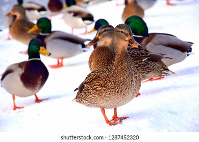 A single duck or drake walking on snow and ice next to a frozen lake in a public park with many other animals behind it, such as ducks, drakes, pigeons, and crows seen in a public park in winter