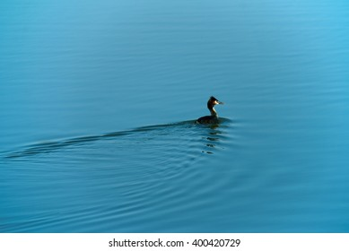 Single duck on lake