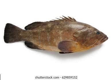 Single dusky grouper on white background