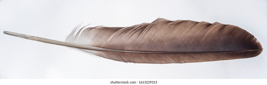 Single eagle wing feather isolated on a light background. Indian symbolic and religious item.