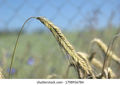 single ear of rye in the field against the background of the grid