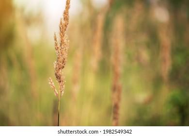 A single ear of rye on a blurred field background
