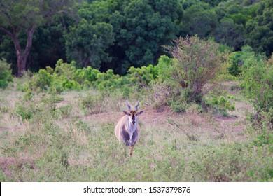 Single Eland Standing in bush , masai mara , kenya , Africa