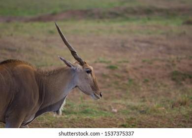 Single Eland Standing in savanna of masai mara, Kenya, Africa. Side closeup view