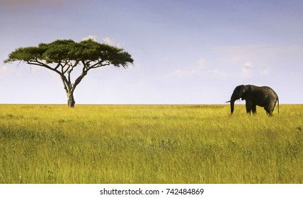 Single Elephant and Isolated Acacia Tree Landscape in Serengeti National Park, a Unesco World Heritage Site in Tanzania, Africa