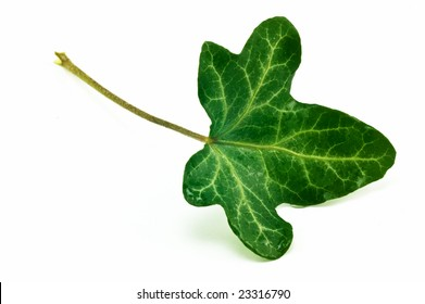 Single English Ivy leaf isolated on white background