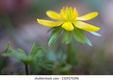 Single Eranthis hyemalis flower outside in the garden